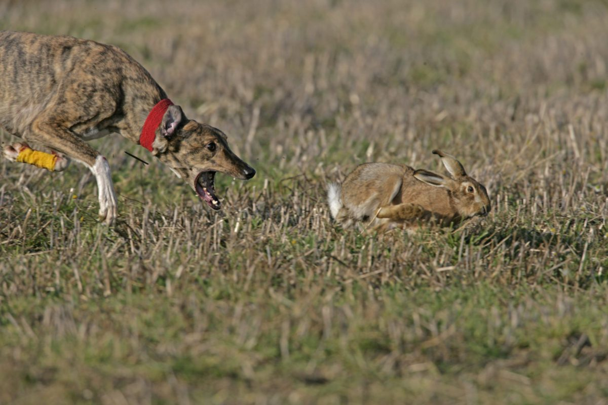 Small Game Rabbit Coursing Dog 1200x800