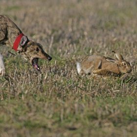 Small-Game-Rabbit-Coursing-Dog-1200x800-